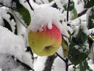 apple snow